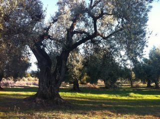 OLIVE OIL LOVERS EXPERIENCE
